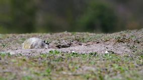 European Ground Squirrel Spermophilus citellus. In its natural habitat on spring on a fresh meadow stock video footage