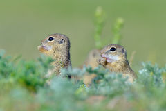 European ground squirrel (Spermophilus citellus) Stock Image