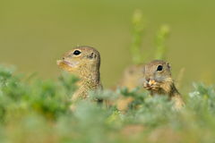 European ground squirrel (Spermophilus citellus) - juvenile Stock Photography