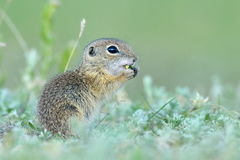 European ground squirrel (Spermophilus citellus) - juvenile Royalty Free Stock Images