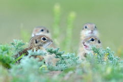 European ground squirrel (Spermophilus citellus) - juvenile Stock Photos