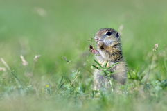 European ground squirrel (Spermophilus citellus) - juvenile Royalty Free Stock Photo