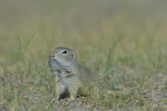 European ground squirrel (Spermophilus citellus) Royalty Free Stock Photography