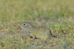 European ground squirrel (Spermophilus citellus) Stock Photography