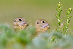 European ground squirrel (Spermophilus citellus) Stock Photos
