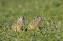 European ground squirrel (Spermophilus citellus) Royalty Free Stock Photo