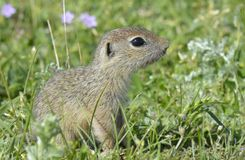 European ground squirrel (Spermophilus citellus) Stock Photo