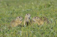 European ground squirrel (Spermophilus citellus) Royalty Free Stock Images
