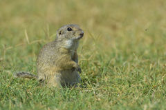 European ground squirrel (Spermophilus citellus) Royalty Free Stock Image