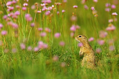 European Ground Squirrel, Spermophilus citellus, sitting in the green grass with pink flower bloom during summer, detail animal po Stock Image