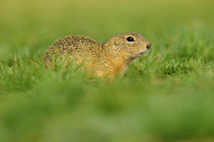 European Ground Squirrel, Spermophilus citellus, sitting in the green grass during summer, Czech royalty free stock image