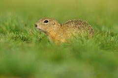 European Ground Squirrel, Spermophilus citellus, sitting in the green grass during summer, Czech Stock Photos