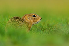 European Ground Squirrel, Spermophilus citellus, sitting in the green grass during summer, detail animal portrait, Czech Republic Royalty Free Stock Images
