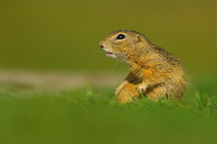 European Ground Squirrel, Spermophilus citellus, sitting in the green grass during summer, detail animal portrait, Czech Republic Royalty Free Stock Photo