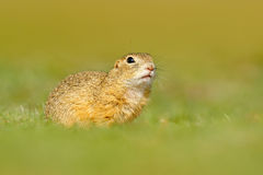 European Ground Squirrel, Spermophilus citellus, sitting in the green grass during summer, detail animal portrait, Czech Republic. European Ground Squirrel stock images