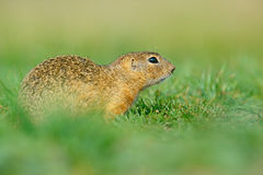 European Ground Squirrel, Spermophilus citellus, sitting in the green grass during summer, detail animal portrait, Czech Republic. European Ground Squirrel royalty free stock photography