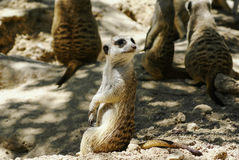 European ground squirrel (spermophilus citellus, suslik, gopher) Royalty Free Stock Photos