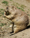 European ground squirrel (spermophilus citellus, suslik, gopher) Stock Photos