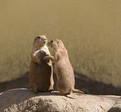 The European ground squirrel, spermophilus, souslik Royalty Free Stock Images