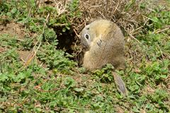 European Ground Squirrel in Springtime Stock Photos