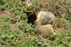 European Ground Squirrel in Springtime Stock Photo