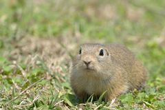European Ground Squirrel in Springtime Royalty Free Stock Images