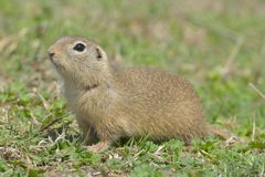 European Ground Squirrel in Springtime Royalty Free Stock Photography