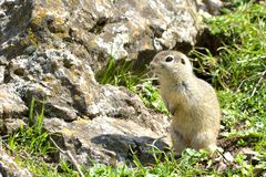European Ground Squirrel in Springtime Stock Images