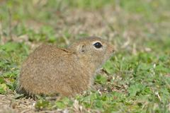 European Ground Squirrel in Springtime Royalty Free Stock Photo
