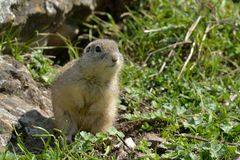 European Ground Squirrel in Springtime Stock Photography