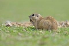 European ground squirrel standing in the grass. Spermophilus citellus. Wildlife scene from nature. Ground squirrel on meadow Stock Photo