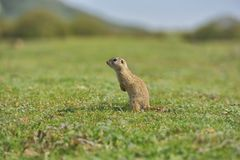European ground squirrel standing in the grass. Spermophilus citellus Royalty Free Stock Images
