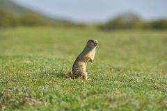 European ground squirrel standing in the grass. Spermophilus citellus Royalty Free Stock Photography