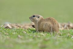 European ground squirrel standing in the grass. Spermophilus citellus. Wildlife scene from nature. Ground squirrel on meadow Royalty Free Stock Images