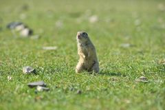 European ground squirrel standing in the grass. Spermophilus citellus Stock Image