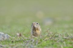 European ground squirrel standing in the grass. Spermophilus ci. Tellus Wildlife scene from nature. Ground squirrel on meadow Royalty Free Stock Photo