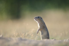 European ground squirrel standing on the ground. European ground squirrel standing on ground with summer yellow grass looking left royalty free stock photo