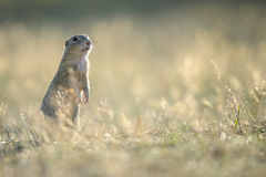European ground squirrel standing on the ground. With yellow summer grass stock photo