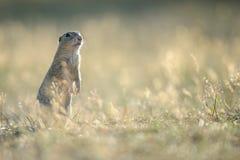 European ground squirrel standing on the ground Stock Photo