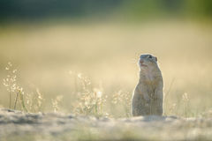 European ground squirrel standing on the ground. With yellow summer grass stock image