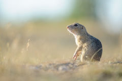 European ground squirrel standing on the ground. With yellow summer grass. Looking left royalty free stock images