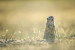 European ground squirrel standing on the ground with yellow summer grass. European ground squirrel standing on the ground with yellow summer grass on right side royalty free stock photography