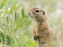 A European ground squirrel standing in a meadow in spring. A European ground squirrel Spermophilus citellus standing in a green meadow in spring Austria royalty free stock photo