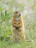 A European ground squirrel standing in a meadow in spring. A European ground squirrel Spermophilus citellus standing in a green meadow in spring Austria royalty free stock photography