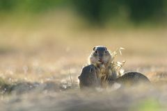European ground squirrel. Standing in the yellow grass stock image