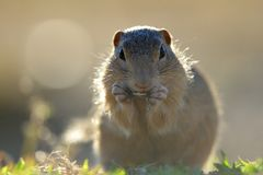 European ground squirrel. Standing in the yellow grass royalty free stock photo