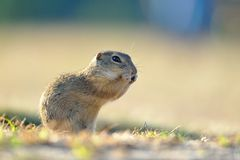 European ground squirrel. Standing in the yellow grass royalty free stock image