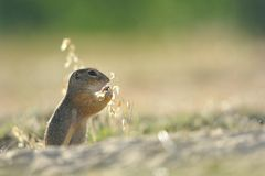European ground squirrel. Standing in the yellow grass stock photo