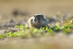 European ground squirrel. Standing in the yellow grass stock photos