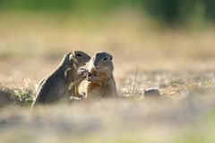 European ground squirrel Royalty Free Stock Photos